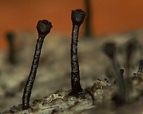 Featured Fungus Number 68